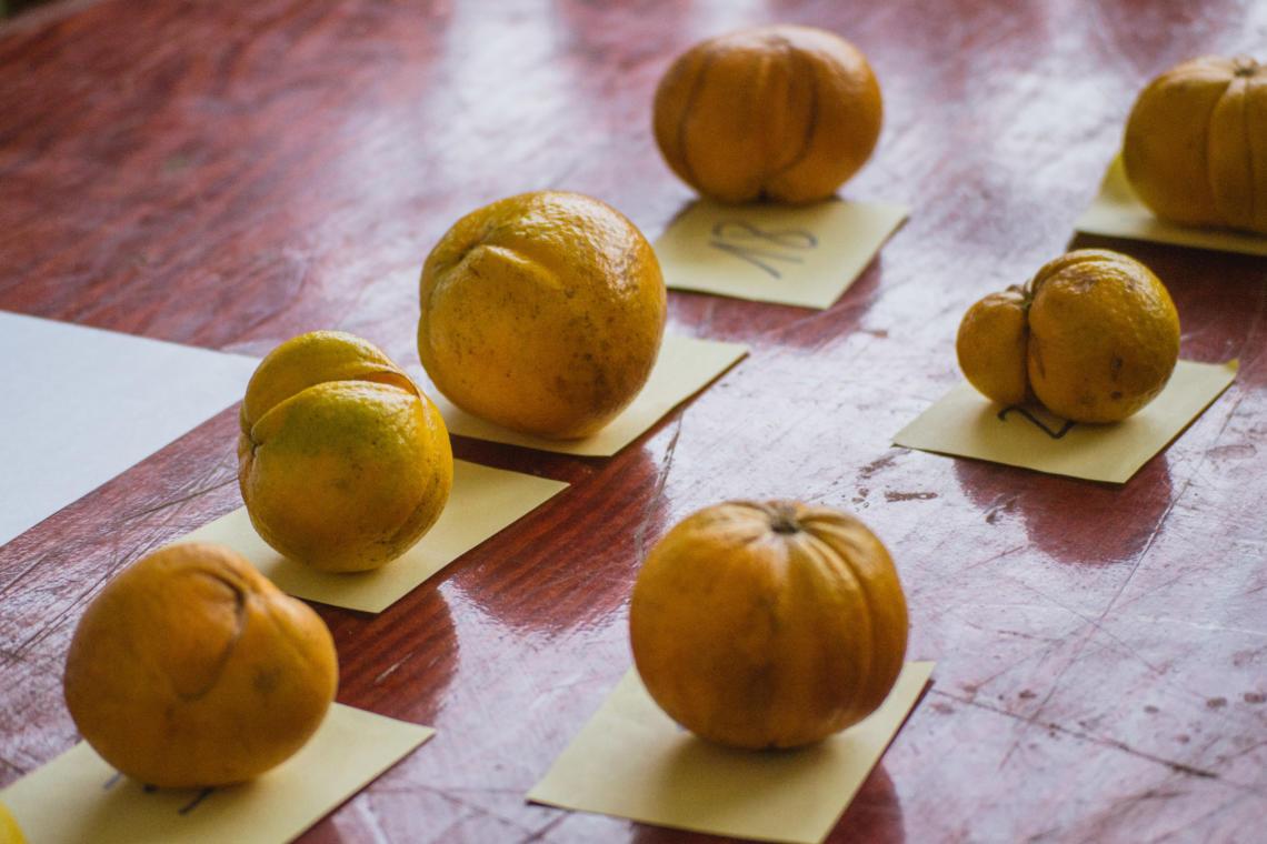 """Oranges concurrentes pour la catégorie """"Orange bizarre"""" lors de la Fête de l'orange de Punaauia à Tahiti"""