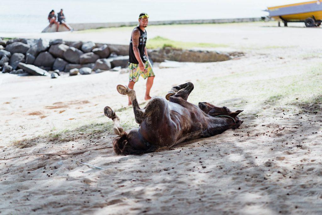 Cheval se roulant dans le sable sur la plage d'Avera à Rurutu, archipel des Australes, Polynésie française