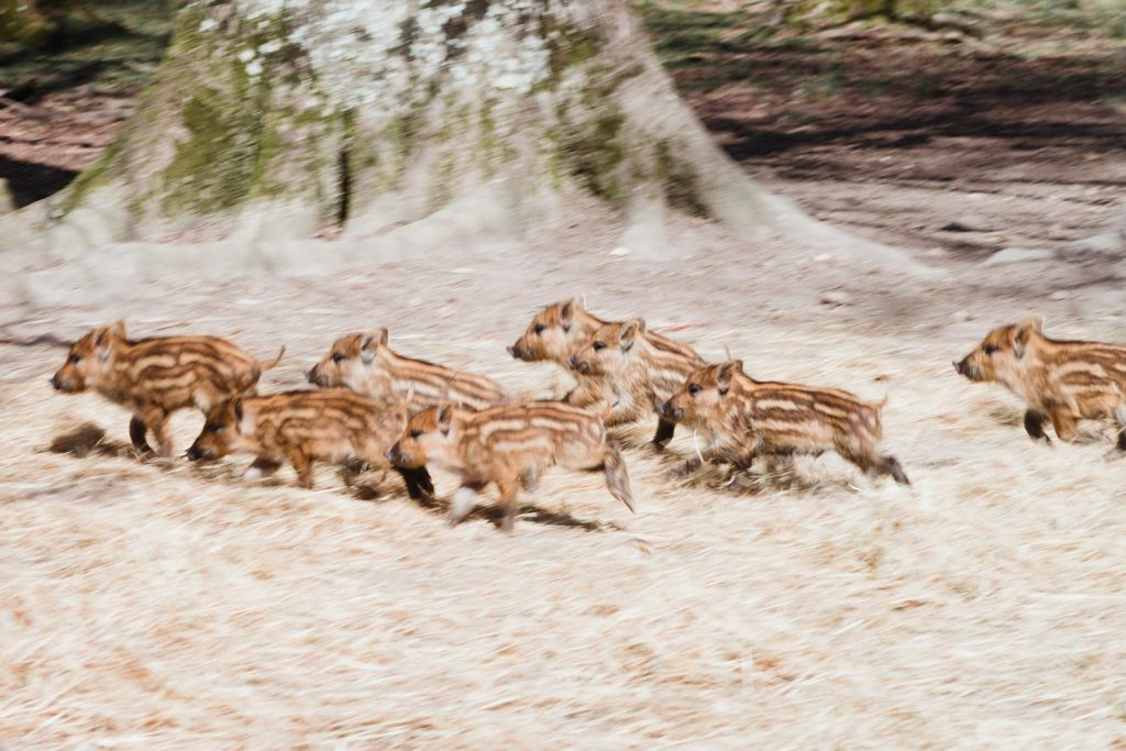 Sangliers et marcassins dans le domaine de Dampierre en Yvelines - Idée de week-end nature et patrimoine en Île-de-France